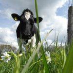 Koeien in wei, miMakke Bakkie